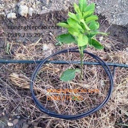 Tưới nhỏ giọt quấn quanh gốc cây